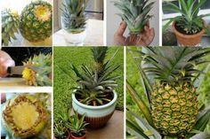 Cultive PIÑA en MACETA: Planta decorativa con delicioso fruto que purifica el aire! – En el Punto