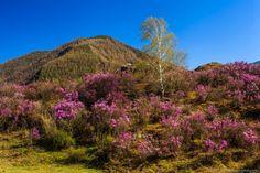 Малиновые всполохи цветущего маральника на Алтае