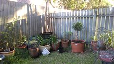 7th, July, 2016: It doesn't look like much so far, but the Ficus will grow nice and tall as the roots take to the pot.  I have put a bag of river stones in the bottom to add good drainage and weight to the pot; so that it can't be knocked over by possums or any people.