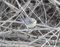 Lucy's Warbler (22)
