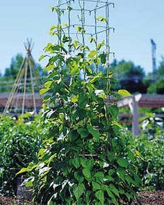 Gardener's Supply Bean Tower buy this tall vegetable support with a thicker frame coupled with legs that hold the structure securely in the ground. The bean tower in our test garden yielded beans between mid-July and late September Bean Trellis, Growing Beans, Garden Planner, Love Garden, Small Space Gardening, Edible Garden, Cool Landscapes, Garden Supplies, Container Gardening