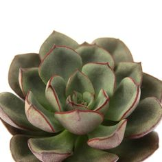Echeveria 'Black Prince' is a succulent plant with super dark, almost black leaves that form a star-shaped rosette. Its dramatic coloring adds great contrast! Purple Plants, All Plants, House Plants, Black Leaves, Green Leaves, Succulent Names, Ghost Plant, California Sunset, Yellow Interior