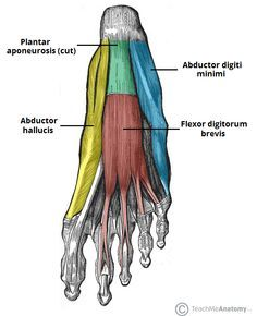 "The intrinsic muscles are like the ""core"" muscles of the foot. Because they are deep and don't cross over too many joints, they can work well in stabilizing and protecting the arch and structures within the foot. If the foot intrinsic muscles are weak, the foot structures are more prone to increased stress and injury. Strengthening the intrinsic muscles of the foot is good for people with foot injuries and for those looking to prevent injury."