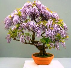 Other Bonsai - Tree Wisteria Bonsai Seeds (Bolusanthus speciosus) was sold for R4.00 on 22 Aug at 22:30 by Seeds and All in Port Elizabeth (ID:4830131)