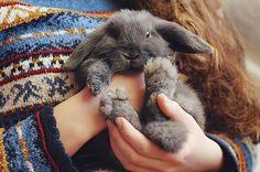 lapin bélier nain nulle part dans les bras de sa maîtresse
