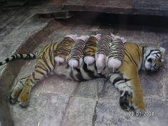 tiglets
