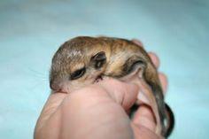 A newborn flying squirrel