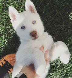 "Outstanding ""siberian husky"" detail is offered on our internet site. Have a look and you wont be sorry you did. Aussie Puppies, Siberian Husky Puppies, Cute Dogs And Puppies, Baby Dogs, Siberian Huskies, Doggies, White Siberian Husky, Shitzu Puppies, Teacup Puppies"