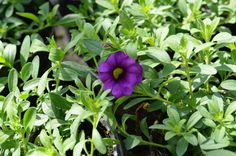 Calibrachoa hybrida 'Callie Purple' minipetunie, Million Bells