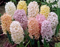 flowersgardenlove:  Hyacinth Beautiful gorgeous pretty flowers