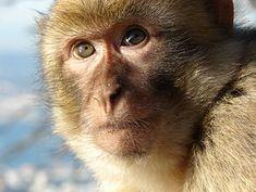 Macaco de Berbería (Moyen Atlas).