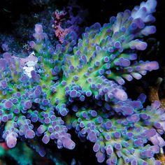 Purple Chronic Acropora