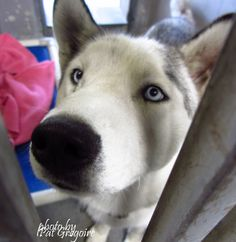 A4869337 My name is Ace. I am a very friendly 2 yr old male white/black siberian husky. I came to the shelter as a stray on august 21. available 8/26/15 Baldwin Park shelter https://www.facebook.com/photo.php?fbid=1018250158186821&set=a.705235432821630&type=3&theater