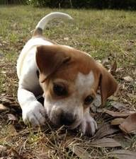 Jackabee (jack russell/beagle), like my Lacey.  I wish I'd had her as a puppy, she would've looked like this!