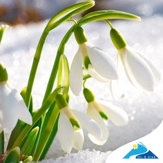 Flower Meanings - List of Flowers With Their Meanings And Pictures Winter Plants, Winter Flowers, Winter Garden, Perennial Flowering Plants, Garden Plants, Perennials, January Flower, Flowers Last Longer, Apricot Blossom