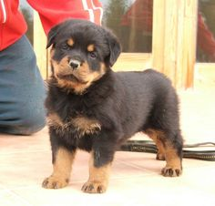 A baby rottie, how cute! They all start out like every other dog; they're only mean when they're trained to be mean. Think about it - who would train a Yorkie to be a guard dog???