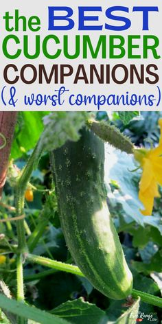 Companion planting is a great way to keep your organic garden pest free and growing its very best. Learn the best cucumber companion plants to grow in your vegetable garden this year. Including what to plant near your cucumber patch and which plants should be kept away. Cucumber Companion Plants, Companion Planting, Vegetable Garden For Beginners, Gardening For Beginners, Cucumber Vegetable, Organic Gardening, Vegetable Gardening, Easy Garden