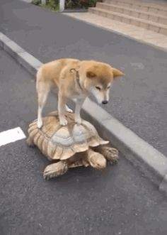 """Homies that ride together, die together. View Animals Riding Tortoises Like Majestic Stallions"""" and more funny posts on CollegeHumor Animals And Pets, Baby Animals, Funny Animals, Cute Animals, Animal Funnies, Funny Dogs, Cute Dogs, Animal Pictures, Funny Pictures"""