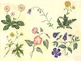 A floral wrapping paper design executed in watercolour. The species illustrated are daisy (Bellis perennis), harebell (Campanula rotundifolia), Bindweed (Convolvulus arvensis), Dandelion (Taraxacum officinale), Periwinkle (Vinca major) and buttercup (Ranunculus repens).
