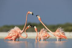 FOUR FIGHTING FLAMINGOS  PHOTO AND CAPTION BY  BAOTING (BOB) CHEN      Every May, about 20,000 flamingos will participate in the mating season in Rio Lagartos, Mexico. I made this photo while standing in waist-deep water. These four flamingos fought for attention from the others.