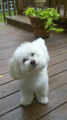 Bichons.... Are the best - Adorable