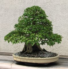 """A Trident Maple (Acer buergerianum) bonsai on display at the National Bonsai & Penjing Museum at the United States National Arboretum. According to the tree's display placard, it has been in training since 1916. It was donated by Takeo Fukuda. This is the """"back"""" of the tree."""
