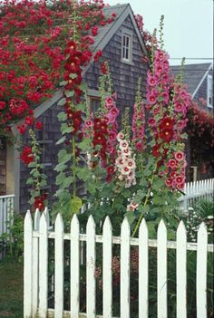 'Sconset village-Nantucket. Love the old-fashioned hollyhocks, and the white picket fence! Malva loca