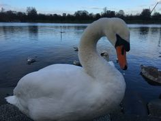 Mute Swan, Hyde Park