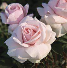 Meredith Hybrid Tea Rose | Hybrid Tea & Grandiflora Sale | Web Specials | Edmunds' Roses