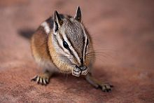 Uinta chipmunk -found mainly in the US