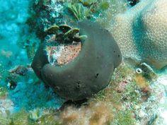 Plakortis angulospiculatus [Little San Salvador, Bahamas]