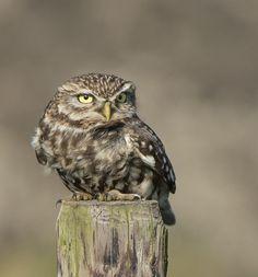 Adri de Groot Reptiles, Owl Pictures, Owl Pics, Owl Always Love You, Little Owl, World Photo, Baby Owls, Birds Of Prey, Nature Animals
