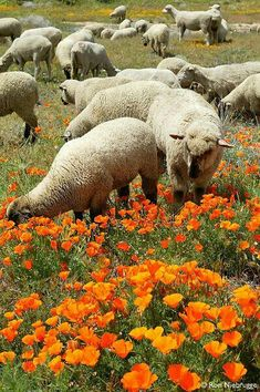 ...We are the Sheep of His pasture. psalm 100:3