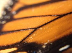 """Monarch Butterfly Wing Scales"" photo by Allison Britten"