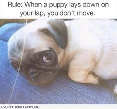 funny dog picture when a puppy lays down on your lap you don't move
