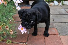 Pug - totally getting one next cause it is my Rotty's favorite kind of dog!