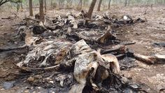 Resten van olifant die is gedood door stroperij