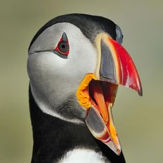 "This is how I pose for pictures too. :) ""Puffin Portrait"""