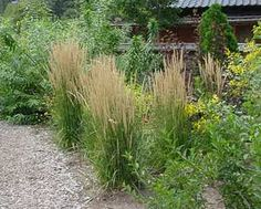 Karl foerster grasses yard pinterest patio privacy for Ornamental grass that looks like wheat