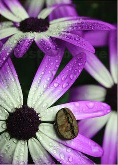 Kaffeebohne auf Aschenblume mit Wassertropfen