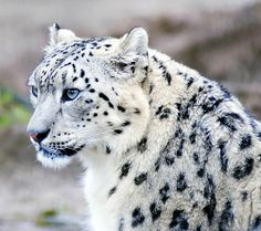 A snow Leopard.one of the most beautiful creatures on earth. Wild Animals Pictures, Animal Pictures, Snow Leopard Pictures, Nature Pictures, Beautiful Cats, Animals Beautiful, Majestic Animals, Animals And Pets, Cute Animals