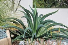 """Agave vilmoriniana, the unarmed """"octopus agave,"""" in 1g. It's hardy in most parts of the Bay Area. Photo by Saxon Holt"""
