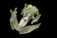 Esta rana de vidrio cuyos órganos puedes ver a través de su piel. | Las 21 cosas más WTF del mundo animal