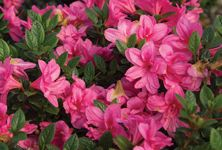 Bright pink semi-double blooms give way to rich bronze winter foliage on Autumn Empress. Try it in your garden!