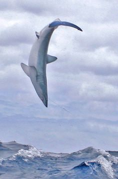 Shortfin Mako Shark - [original post: Thresher Shark.... Wtf id piss myself @Ryan Sullivan Anderson]
