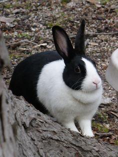 Dutch rabbit... I miss our little Thumper :(