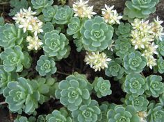 Sedum Pachyclados - LOVE that it blooms white!