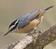 These little guys come to the front feeder. Information About Birds, Forest House, Backyard Birds, Bird Watching, Pacific Northwest, North West, Woodland, Cute Animals, Nuthatches