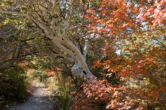 Madrone in McKittrick Canyon