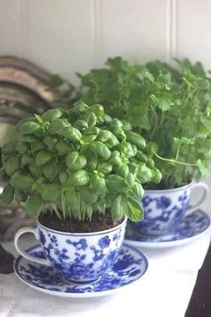 This is pretty. I didn't know what to do with a little set of these blue/white cups & saucers. This is a fantastic idea for a long sunny windowsill in my living room! An herb garden!